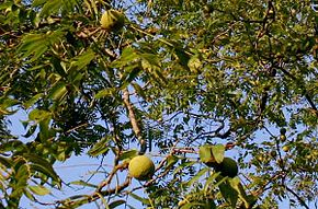 Description de l'image  Image:Black walnut tree 1.jpg .
