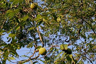 valnøddetræ sorter
