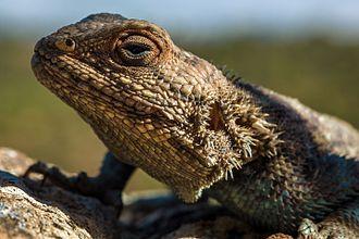 Agama impalearis - Close up of the head