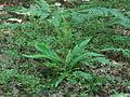 Blechnum spicant PID2006-2.jpg