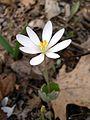 Bloodroot (Sanguinaria canadensis) - Flickr - Jay Sturner (3).jpg