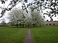Blossom time in Kings Hedges - geograph.org.uk - 774804.jpg