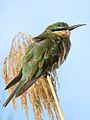 Blue-cheeked bee-eater, Merops persicus, Chobe National Park, Botswana (32445568736).jpg
