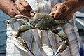 Blue crab in Dalyan.jpg