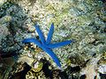 Blue starfish in Papua New Guinea.jpg