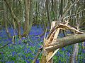 Bluebell wood, Matfield, Kent.JPG
