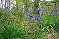 Bluebells in Chase Wood - geograph.org.uk - 408943.jpg