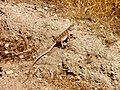 Blunt-nosed leopard lizard (6554995907).jpg