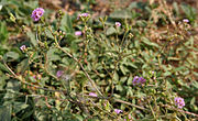Boerhavia diffusa in AP W IMG 8087.jpg