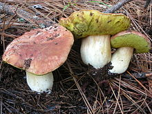 A group of three mushrooms with reddish-brown caps, bright yellow porous undersides, and thick white stipes. They are growing on the ground in dirt covered with pine needles.