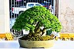Bonsai in Thailand by Trisorn Triboon 3.JPG