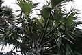 Borassus flabellifer 4zz.jpg