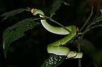File:Bornean Keeled Green Pit Viper (Tropidolaemus subannulatus) (23526036282).jpg
