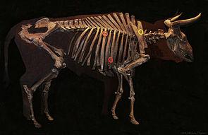 Skelett einer Auerochsen-Kuh im Nationalmuseum in Kopenhagen