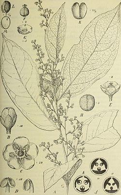 Botanische Jahrbücher für Systematik, Pflanzengeschichte und Pflanzengeographie (1907) (20394368832).jpg