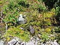 Both Mimulus lewisii (Purple monkeyflower) and Mimulus guttatus (Yellow monkeyflower) (28303493930).jpg