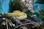 Bothrops insularis Instituto Butantã (3).jpg