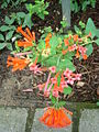 Bouvardia ternifolia.JPG