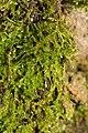 Brachythecium rutabulum 106826687.jpg