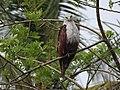 Brahminy kite (Haliastur indus)കൃഷ്ണപ്പരുന്ത് 11.jpg