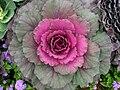 Brassica (decorative cultivar) 01.jpg