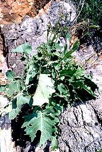 Brassica macrocarpa