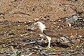 Brazil-00479 - Yellow Headed Caracara (48963271378).jpg
