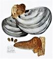 Bresadola - Ganoderma applanatum.png