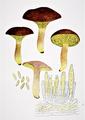 Bresadola - Phylloporus rhodoxanthus.png