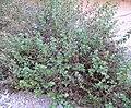 Brickellia californica 1.jpg