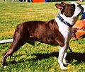 Brindle-white Boston Terrier.jpg
