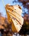 Brittle Leaf, Minneapolis (30662482856).jpg