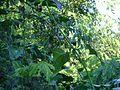 Bromélia na base de uma árvore.jpg