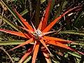 Bromelia serra en flor.jpg