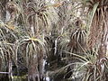 Bromeliads in Cypress Dome , NPSPhoto (9101882940).jpg