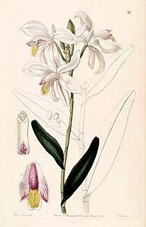 <i>Bromheadia finlaysoniana</i> species of plant