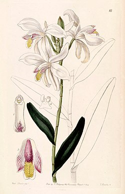 Bromheadia finlaysoniana (as Bromheadia palustris) - Edwards vol 30 (NS 7) pl 18 (1844).jpg