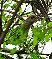 Brown-headed Parrot (Poicephalus cryptoxanthus) eating small fruit ... (32672787113).jpg