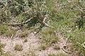 Brown snake - victoria australia02.jpg