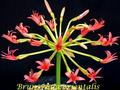 Brunsvigia orientalis ibiblio org PDMary Sue Ittner.png