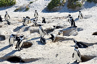 African penguin - Nesting burrows of the African Penguin, Boulders Beach (2017)
