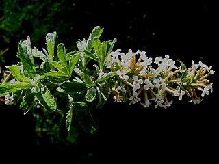 <i>Buddleja</i> × <i>wardii</i> species of plant
