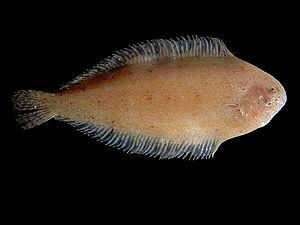 Soleidae - Image: Buglossidium luteum