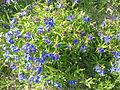 Buglossoides purpurocaeruleum 01.jpg
