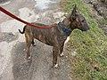 Bull terrier mâle (3).jpg