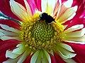 Bumble Bee on Dahlia in South Everett Washington, USA.JPG