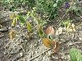 Bupleurum rotundifolium sl41.jpg