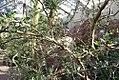 Bursera microphylla 0zz.jpg