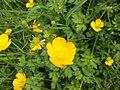 Buttercup (Ranunculus) 1.JPG