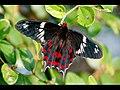Butterfly (4097848573).jpg